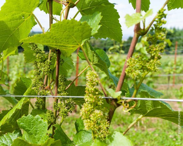 Blooming inflorescence on Pinot Noir vines at Three Feathers E