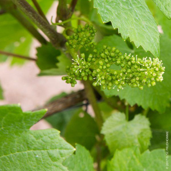Inflorescence, or bloom, on Pinot Noir vines at Three Feathers E