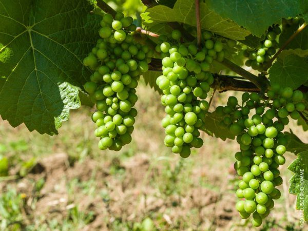 Pea-size Pinot Noir grape clusters on Three Feathers Estate & Vi
