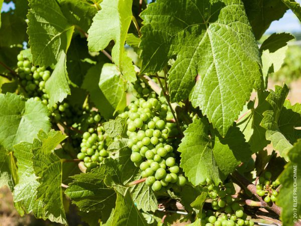 Pea-size Pinot Noir grape clusters on Three Feathers Estate & Vineyard