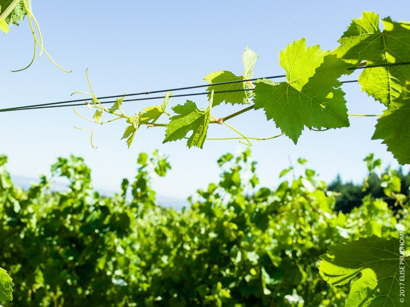 Vines and tendrils reaching upwards on their trellis wires on Th