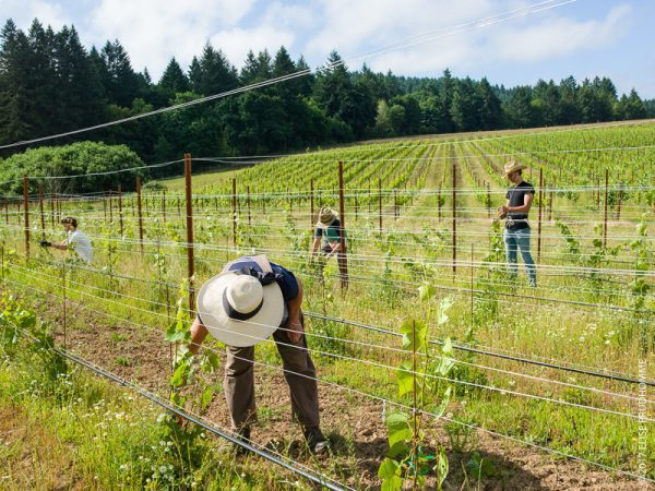 Vineyard team tying up Pinot Gris plants to promote strength on