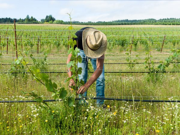 Vineyard team member wearing the indispensable straw hat tying up Pinot