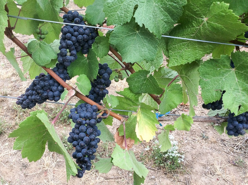 Pre-harvest ripening clusters of Pinot Noir clone 667 on vines a
