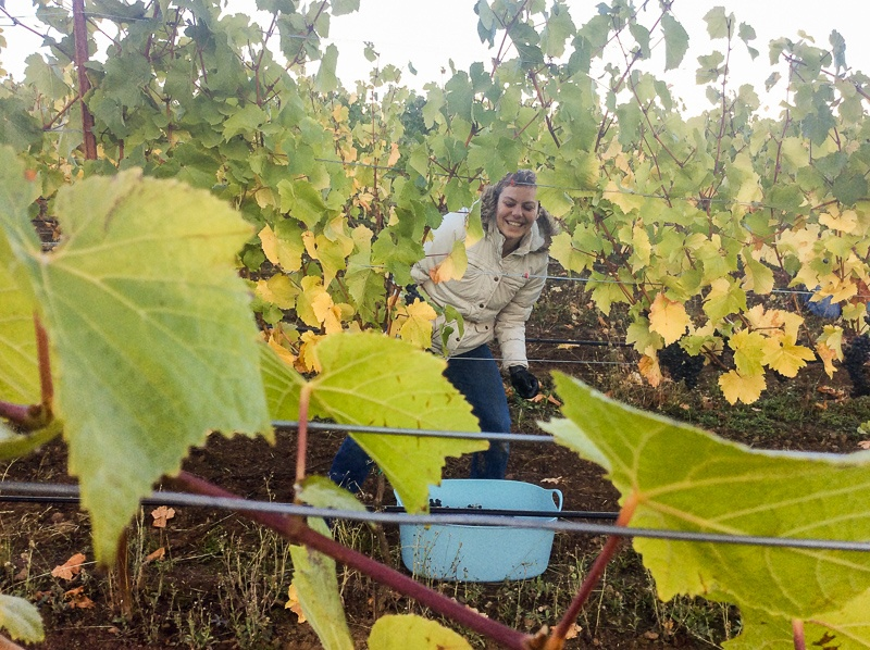 Worker harvesting grapes at Three Feathers Vineyard, Chehalem Mo