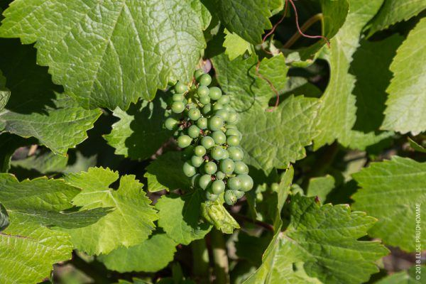 Pinot Noir grapes in early stage of maturity.