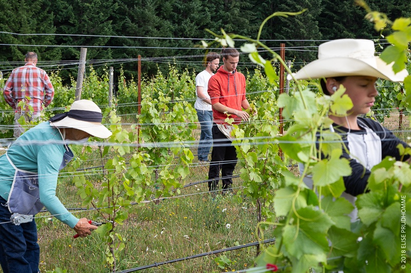 Pruning and training at Three Feathers Estate & Vineyard