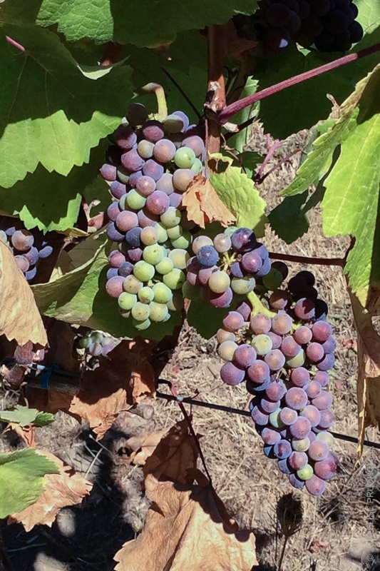 Pinot Noir grapes at commencement of veraison on Three Feathers