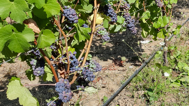 Pinot Noir grapes in middle stage of veraison on Three Feathers