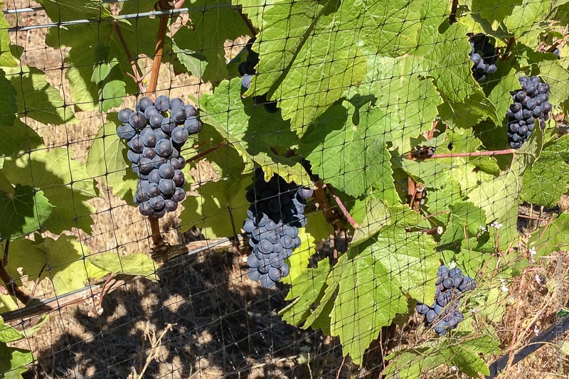 Pinot Noir grapes in middle stage of veraison, under bird nettin