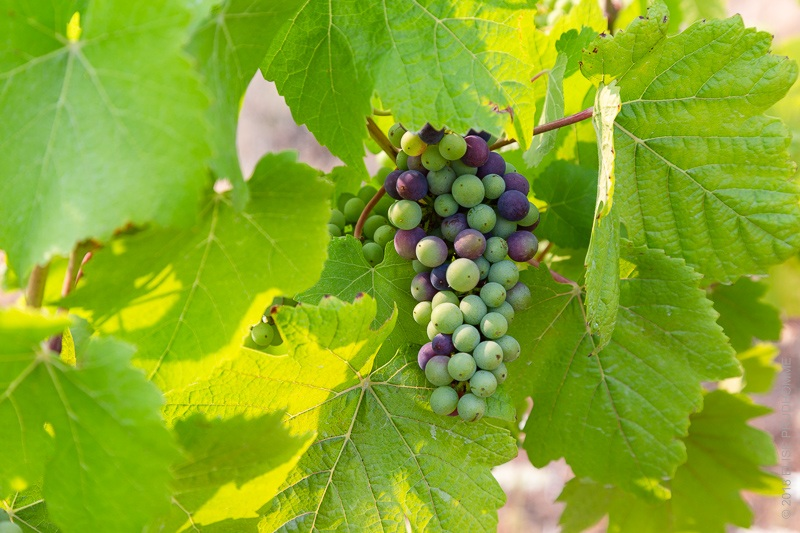 Pinot Noir grapes in the veraison process at Three Feathers Esta