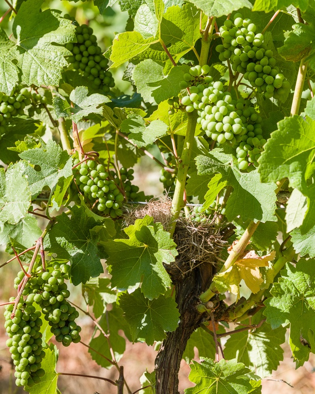 Three Feathers Pinot Noir 2017 in pre-veraison stage with bird n