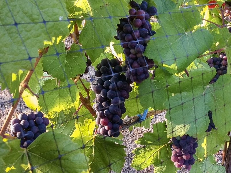 Ripening Pinot Noir grapes on the vine, Precoce clone