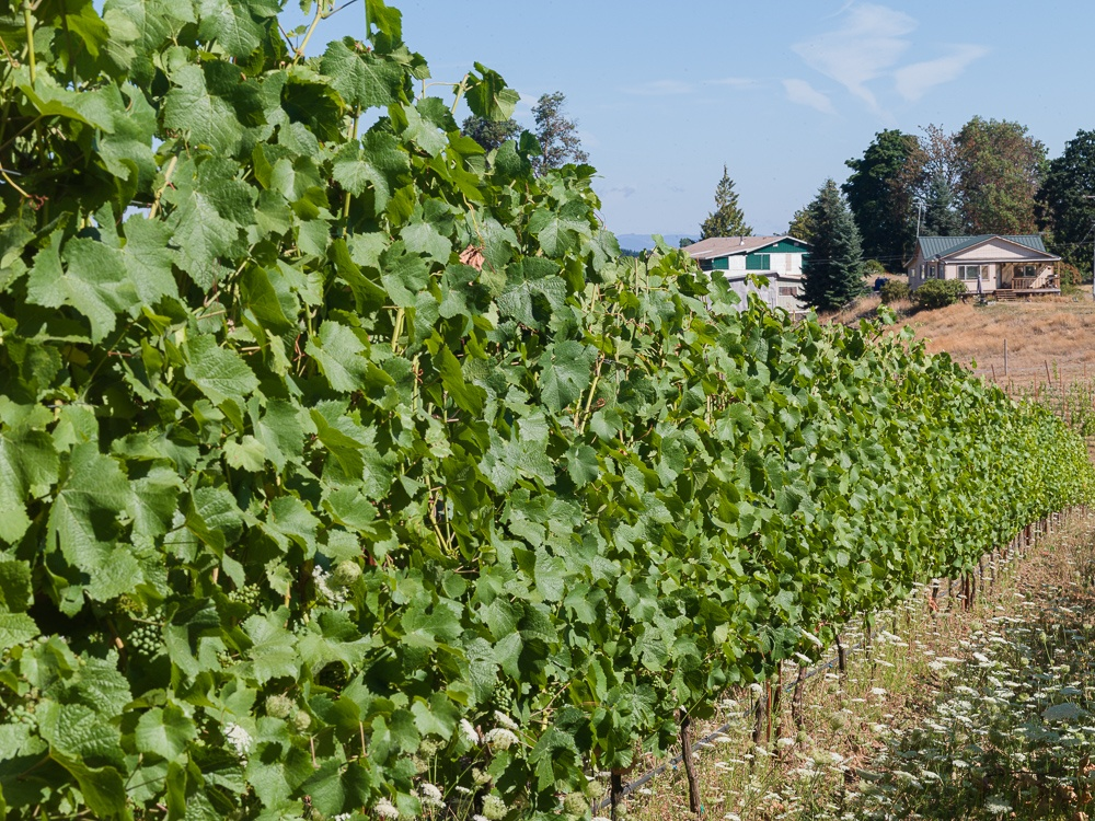 Three Feathers Estate and Vineyard, trimmed and Pinot Noir grape