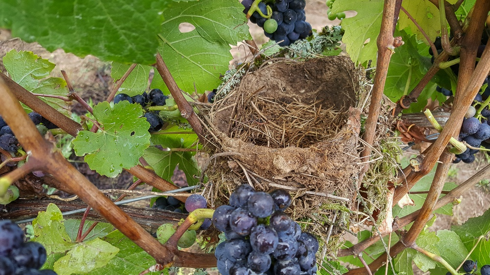 Birds nest during harvest time at Three Feathers