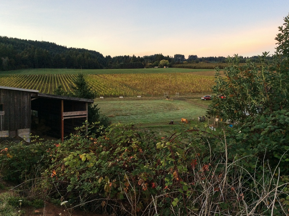 Early harvest mornings at Three Feathers Estate & Vineyard.