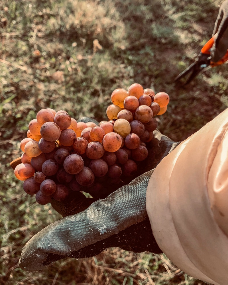 Harvesting 2019 Pinot Gris clone at Three Feathers Estate