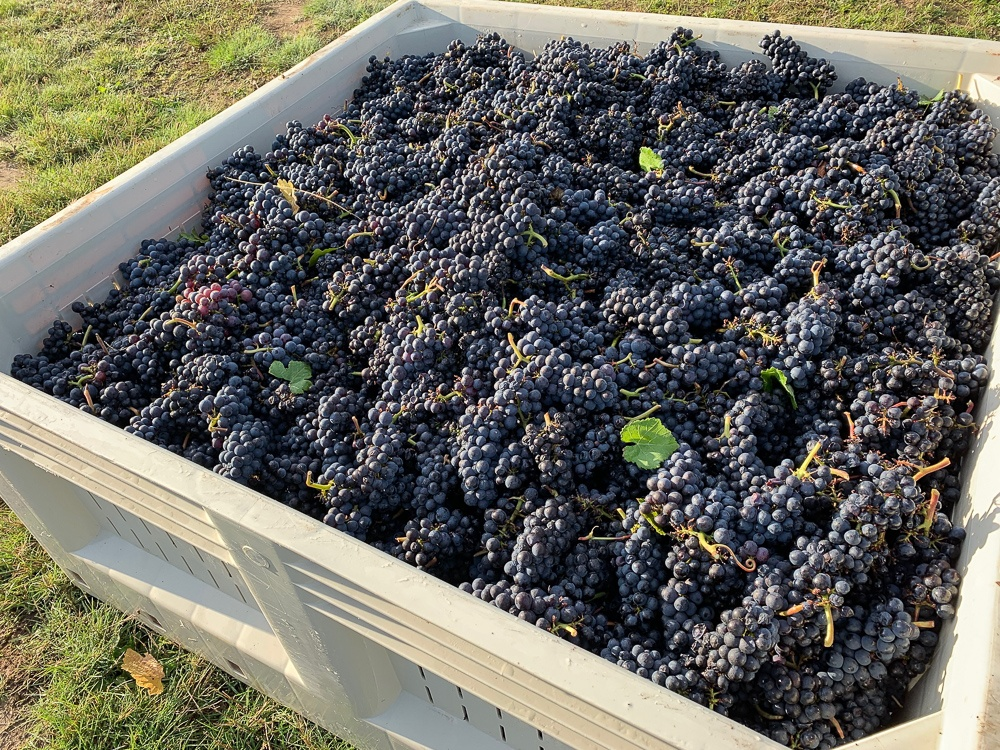 Harvesting 2019 Pinot Noir clone at Three Feathers Estate